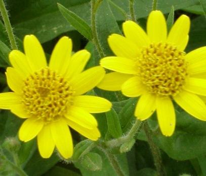 فوائد زيت زهرة العطاس زيت نباتية العناية بالبشرة العناية بالشعر