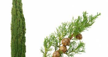فوائد زيت شجر السرو تعديل العرق مفيد للصحة