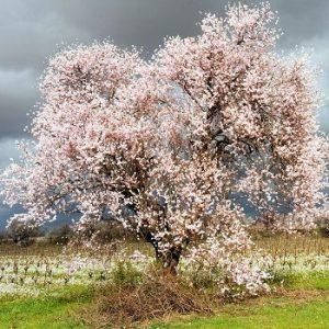 med-fleurs-d-amandier-visoflora-24561-300x225 اللوز و فوائده