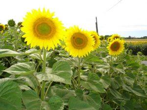 DSC04655-1024x768-300x225 عباد الشمس و فوائده