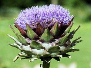 fleur-dartichaut-300x225-300x225 الخرشوف و فوائده