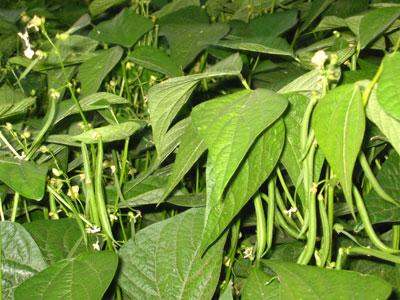الفاصولياء الخضراء