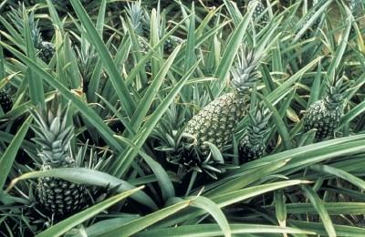 ananas-plante الأناناس و فوائدها