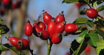 ثمرة وردة المسك