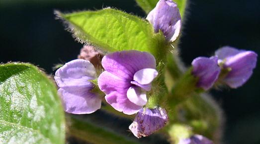 soja-fleurs فول الصويا: مصدر الصحة