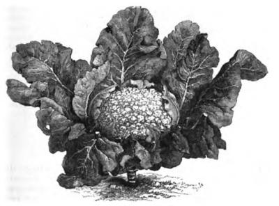 Chou-fleur_géant_de_Naples_Vilmorin-Andrieux_1883 الملفوف و فوائده: الطبخ و الصحة